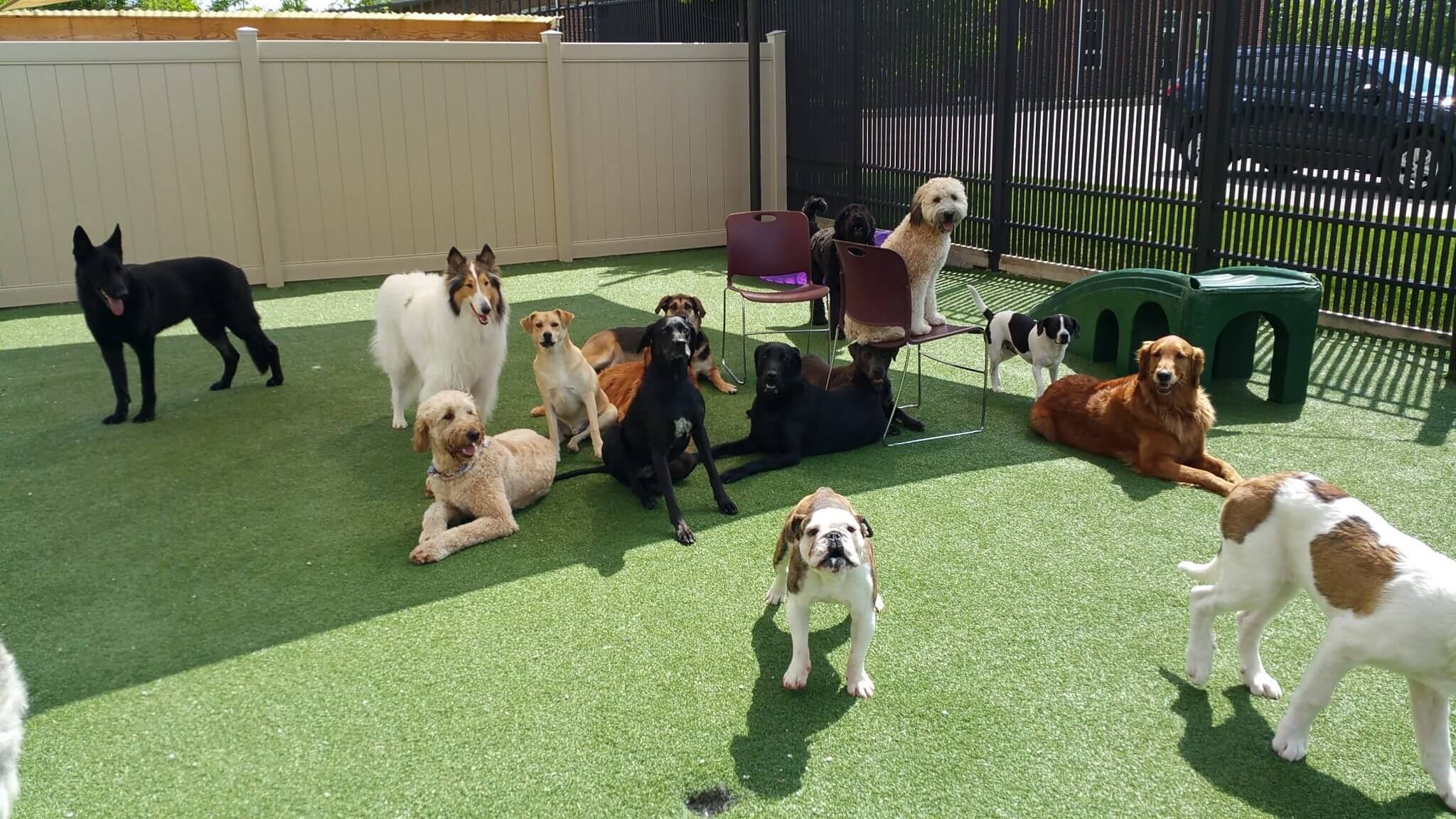 A bunch of dogs on PetGrass at a doggie daycare