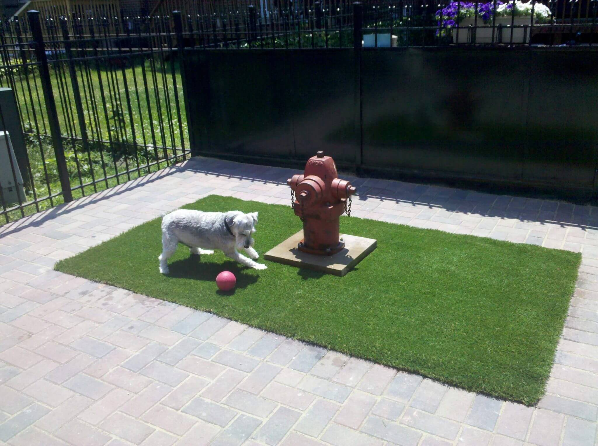 Small white dog playing at a fire hydrant on PetGrass