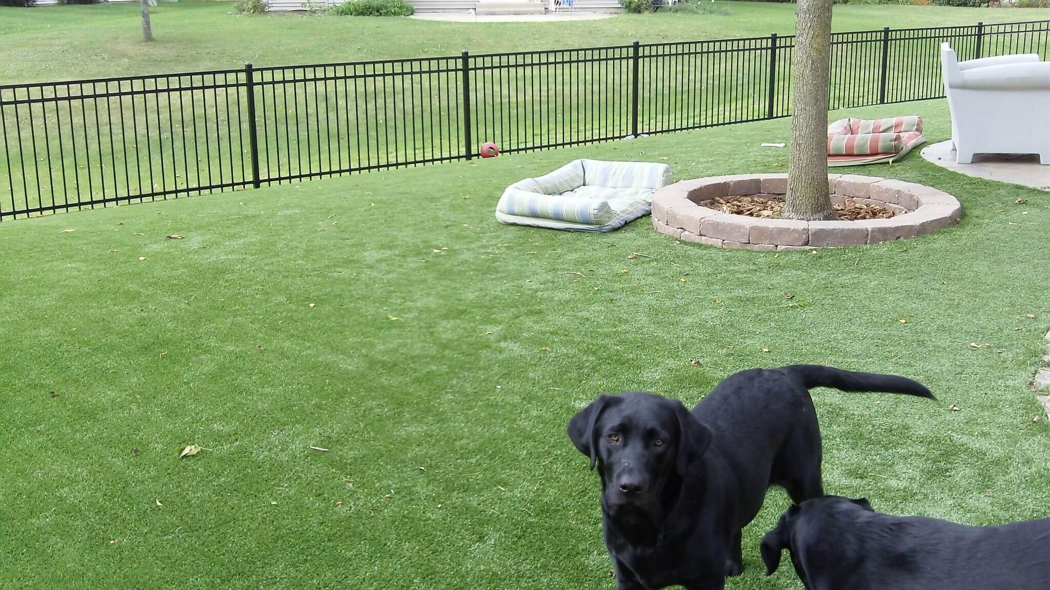 Backyard with PetGrass and 2 black labs