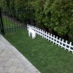 White dog inspecting his new PetGrass turf backyard.