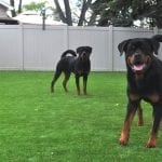 Backyard of PTPetGrass synthetic turf with two Rottweilers
