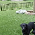 Backyard of PTPetGrass Artificial Grass with two black labs.
