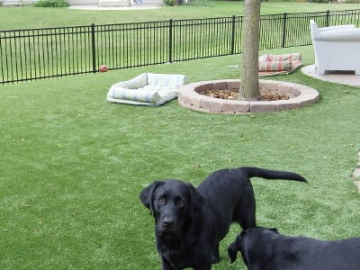 Backyard of PTPetGrass Artificial Grass with two black labs - Dog Runs Photos