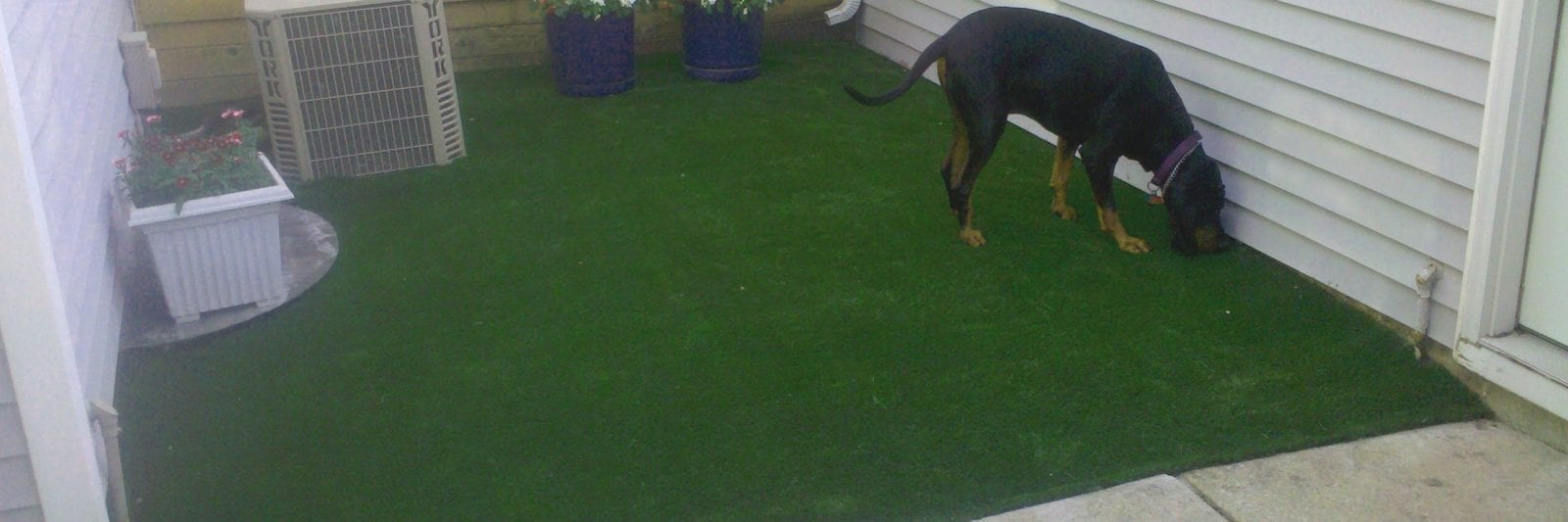 Dog inspecting his new PetGrass dog run in Chicago home yard.